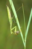 Mantis eat locust Royalty Free Stock Images