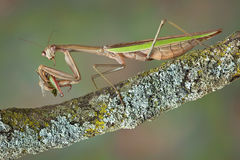 Mantis eating hopper Stock Photo