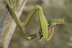 Mantis eating mate closeup Royalty Free Stock Photo