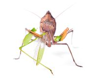 Mantis eats locust royalty free stock images