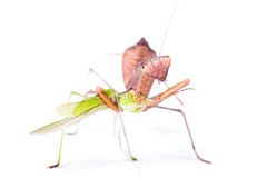 Mantis eats locust Royalty Free Stock Image
