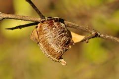 Mantis egg case (Ootheca laid) Stock Photos
