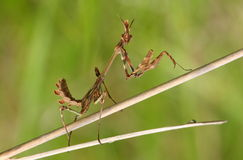 Mantis (empusa fasciata). Empusa fasciata standing on dried plant. this insect is a specie of mantis Royalty Free Stock Photography