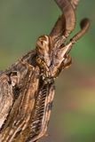 Mantis (Empusa pennata) Stock Photo