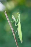 Mantis européen Image stock