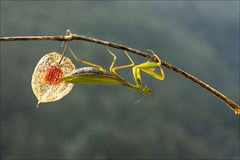 Mantis europeo Fotografie Stock Libere da Diritti