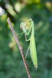 Mantis europeo Fotografie Stock