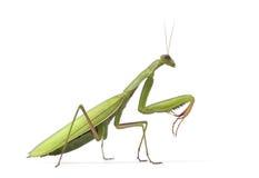 Mantis europeo femminile o Mantis di preghiera, Mantis Fotografie Stock Libere da Diritti