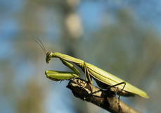 Mantis europeu Foto de Stock Royalty Free