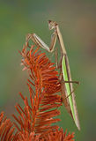 Mantis on evergreen Stock Image