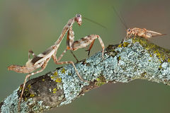 Mantis eye to eye with cricket Royalty Free Stock Images