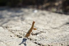 A mantis is facing to the enemy. It is waiting for the battle royalty free stock images