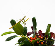 Mantis on Fall Foliage royalty free stock photos