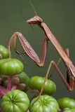 Mantis with feeler in mouth Royalty Free Stock Image