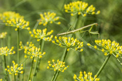 Mantis on fennel flower Royalty Free Stock Image