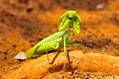A praying mantis started fighting. Stock Image