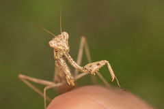 Mantis on finger. A beautiful Ameles decolor on my hand royalty free stock photography