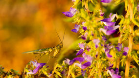 A Mantis on flower Holy Basil. Stock Images