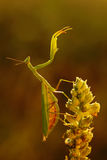 Mantis on flower, Mantis religiosa, beautiful evening sun, Czech republic. Mantis on flower, Mantis religiosa, beautiful evening sunan Royalty Free Stock Photos