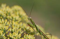 Mantis on flower, Mantis religiosa Royalty Free Stock Photography