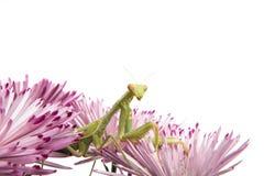 Mantis on a flower Stock Photos