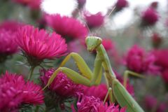 Mantis and flowers macrolike. I decided to get my mantis out for a walk, and he climbed out onto the flowers, and it turned out such an interesting picture Stock Photos