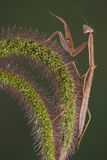 Mantis on foxtail Royalty Free Stock Image