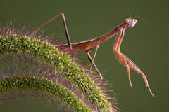 Mantis on foxtail Royalty Free Stock Photo