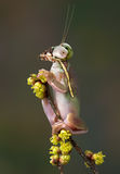 Mantis Frog on Branch Stock Images