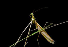 Mantis on grass 1 Stock Photo