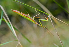 Mantis on grass 10 Royalty Free Stock Photos