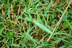 Mantis in the grass Royalty Free Stock Images
