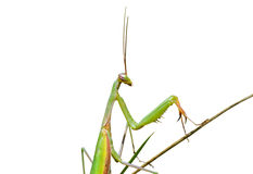 Mantis on grass 7 Royalty Free Stock Photography