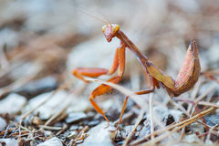 Mantis in the grass in the attacking pose Royalty Free Stock Photo