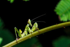 Mantis on grass Stock Photography