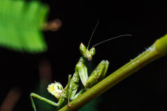Mantis on grass Royalty Free Stock Photo