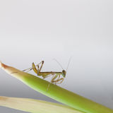 Mantis on a green branch Royalty Free Stock Images