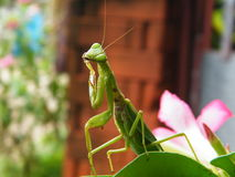 A Mantis Royalty Free Stock Photo