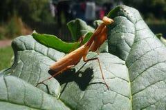 Mantis on green leaf Stock Photos
