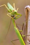 Mantis. Green praying mantis on a meadow Royalty Free Stock Image