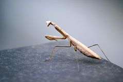 Mantis on the ground Royalty Free Stock Photos
