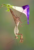Mantis hanging from morning glory Royalty Free Stock Photos