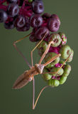 Mantis hanging from pokeweed Royalty Free Stock Photography