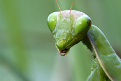 Mantis head royalty free stock photography