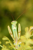 Mantis Royalty Free Stock Image