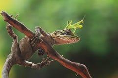 Mantis on the head lizard Stock Photo