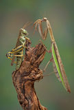 Mantis and hopper surprise Stock Images