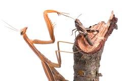 Mantis hunt on grasshopper Stock Photography