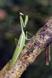 Mantis in hunting position on tree trunk Stock Photo