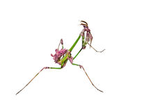 Mantis insect with courtship coloration Stock Photo